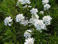 http://www.kwiaty.poral.net/zdjecia/i/iberis_sempervirens_04a.jpg