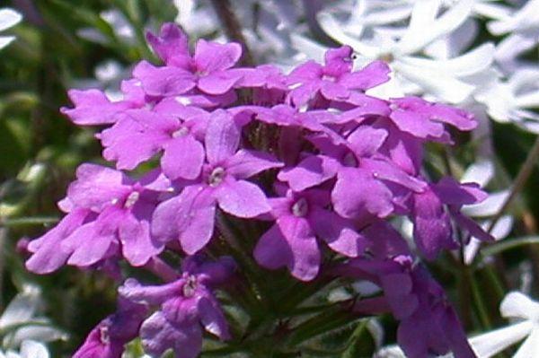 Werbena ogrodowa verbena opis wymagania rozmna anie - Verbena pianta ...